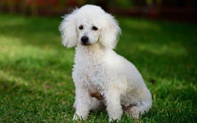 10种最聪明的狗品种