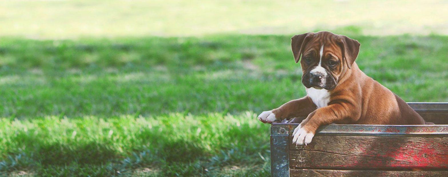 狗肚子胀气原因及消除方法