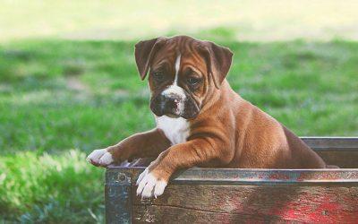 狗肚子胀气原因及如何消除