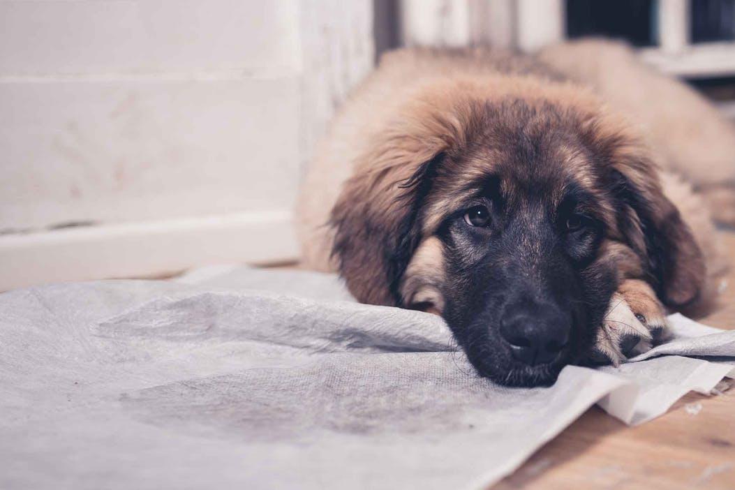 狗狗患有分离焦虑怎么办?