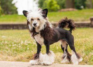 中国冠毛犬,狗品种