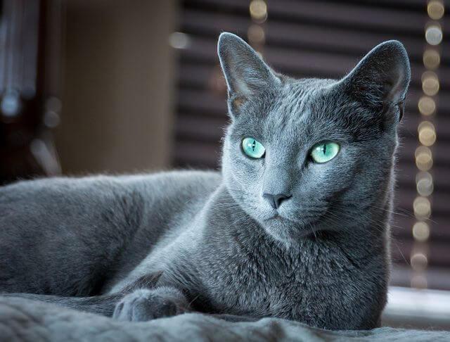 俄罗斯蓝猫:特点 历史 怎么养 优缺点 健康问题介绍
