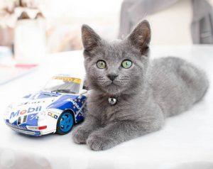 俄罗斯蓝猫,猫品种