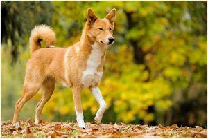 卡南犬,狗品种