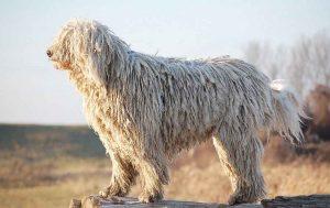 可蒙犬,狗品种
