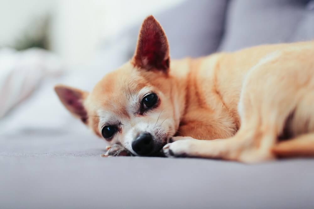 吉娃娃犬:特点 历史 怎么养 优缺点 健康问题介绍