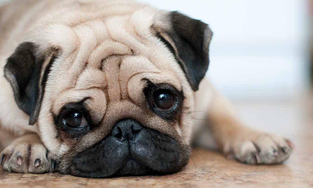 巴哥犬(哈巴狗)特点 历史 怎么养 优缺点介绍