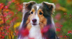 喜乐蒂牧羊犬,狗品种
