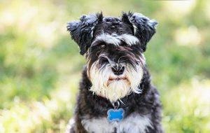 小型(迷你)雪纳瑞,狗品种