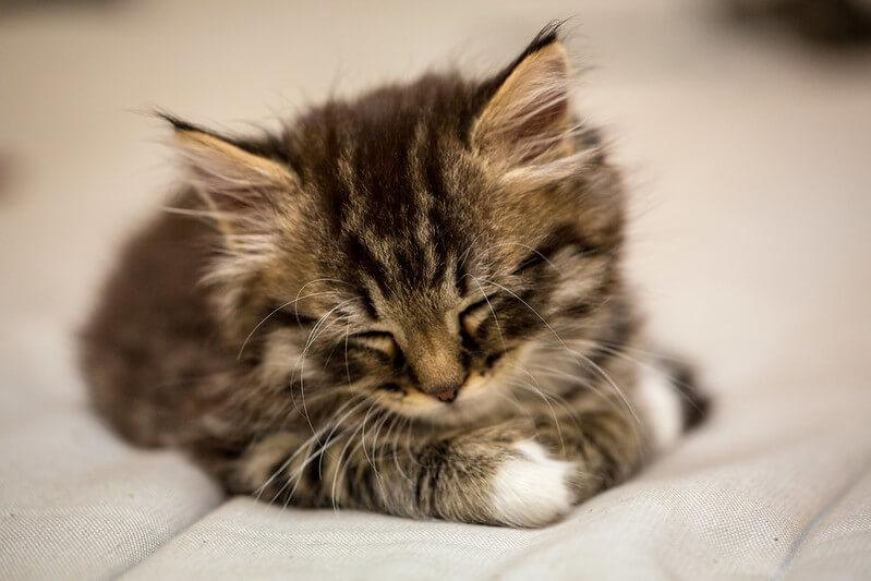 小猫什么时候开始换牙