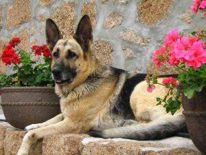 德国牧羊犬,狗品种