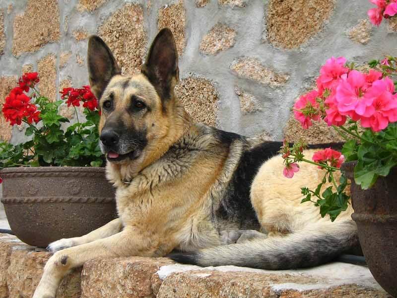 德国牧羊犬:特点 历史 怎么养 优缺点 健康问题介绍