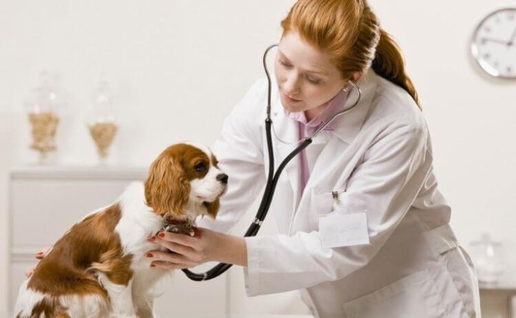狗患心脏病症状及治疗方式