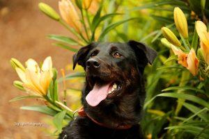 黑色拉布拉多犬,狗品种