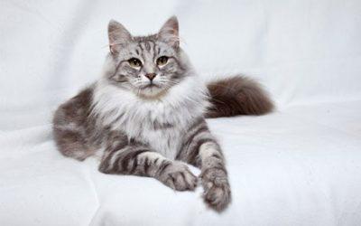 挪威森林猫怎么选购及喂养的方法