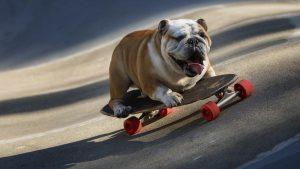 斗牛犬滑滑板