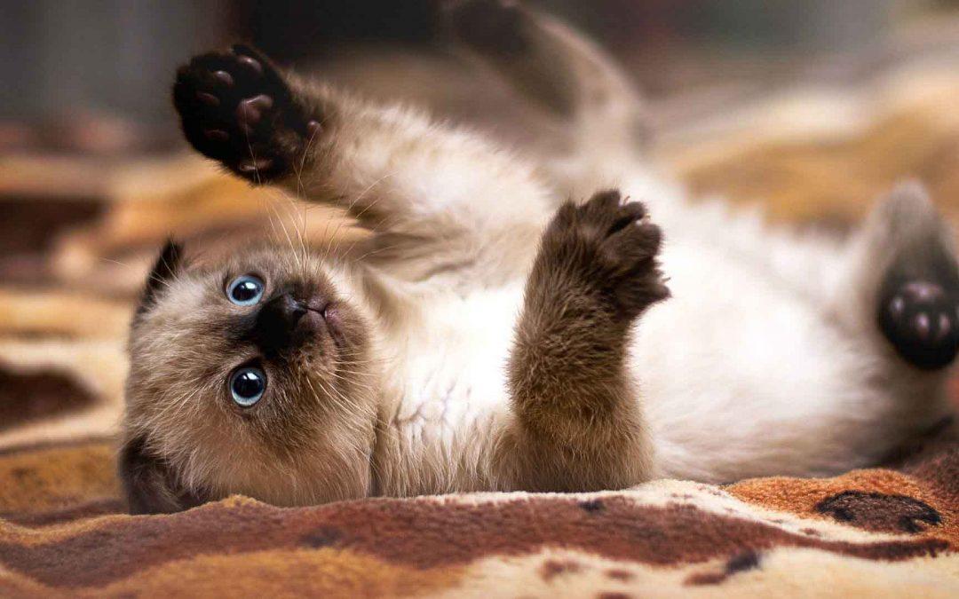 暹罗猫: 特点 历史 怎么养 优缺点 健康问题介绍