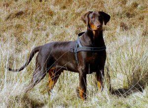 杜宾犬,狗品种