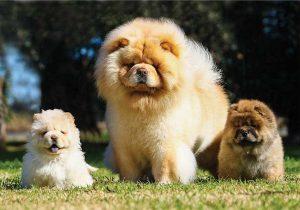 松狮犬,狗品种