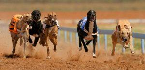 比赛的格力犬(灵缇犬),狗品种