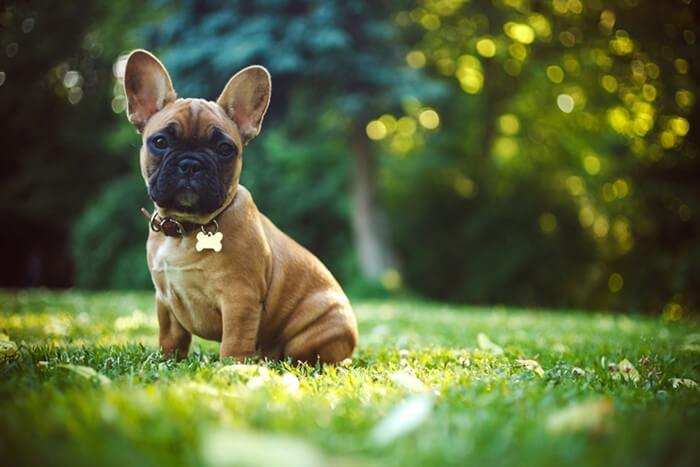 法国斗牛犬,狗品种