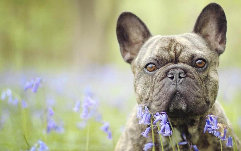法国斗牛犬:特点 历史 怎么养 优缺点 健康问题介绍