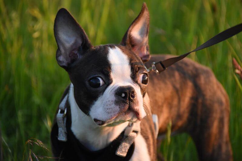 波士顿梗犬: 特点 历史 怎么养 优缺点 健康问题介绍