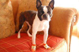 波士顿梗犬,狗品种