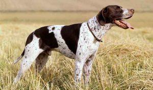 波音达猎犬,狗品种