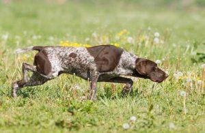 波音达猎犬,狗品种波音达猎犬,狗品种