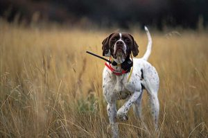 波音达猎犬(指示犬),狗品种
