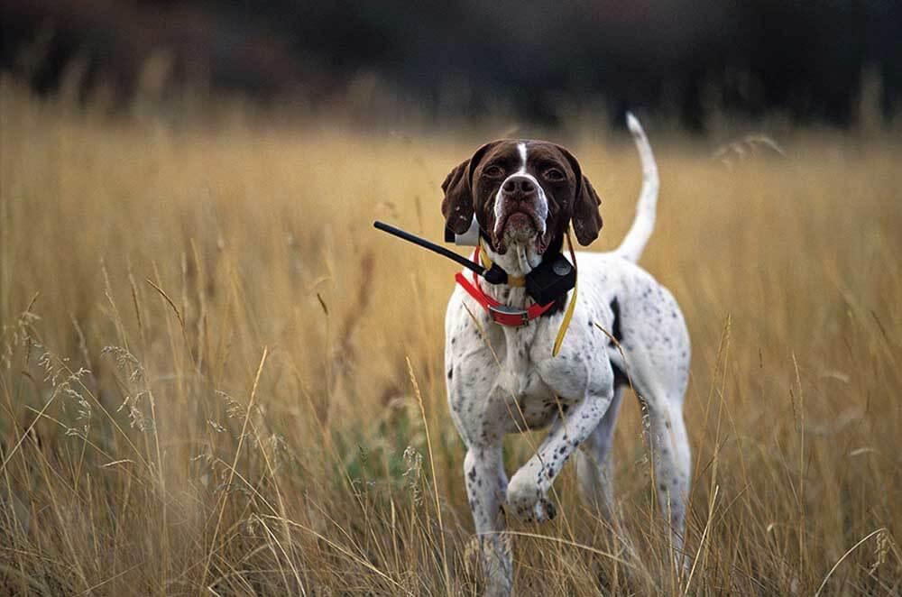 波音达猎犬(指示犬): 特点 历史 怎么养 优缺点 健康问题介绍