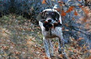 波音达猎犬捕鸟,狗品种