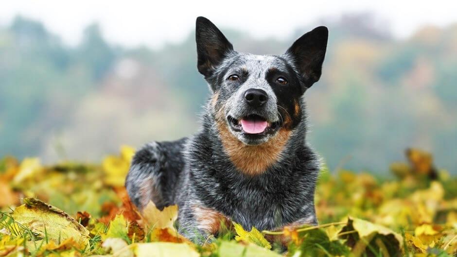 澳洲牧牛犬:特点 历史 怎么养 优缺点 健康问题介绍