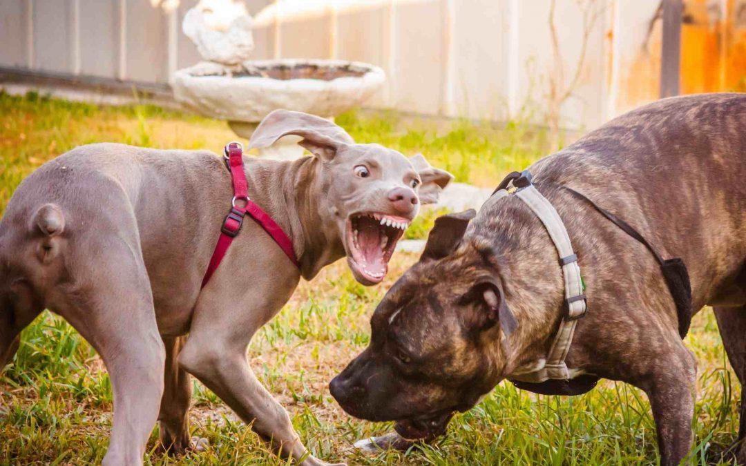 如何阻止狗的占有(狗护食、护玩具等)侵略