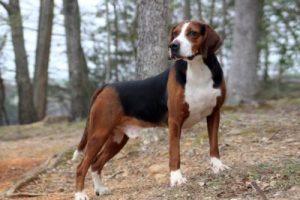 猎兔犬,狗品种
