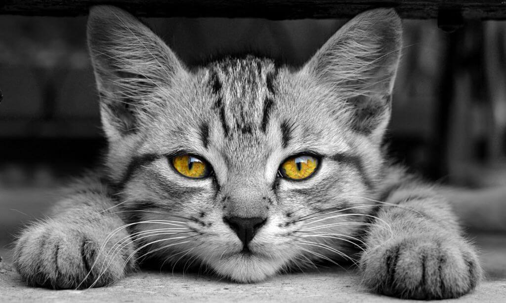 猫呼吸道感染症状及治疗