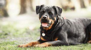 罗威纳犬,狗品种