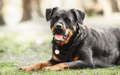 罗威纳犬:特点 历史 怎么养 优缺点介绍
