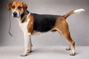 英国猎狐犬,狗品种