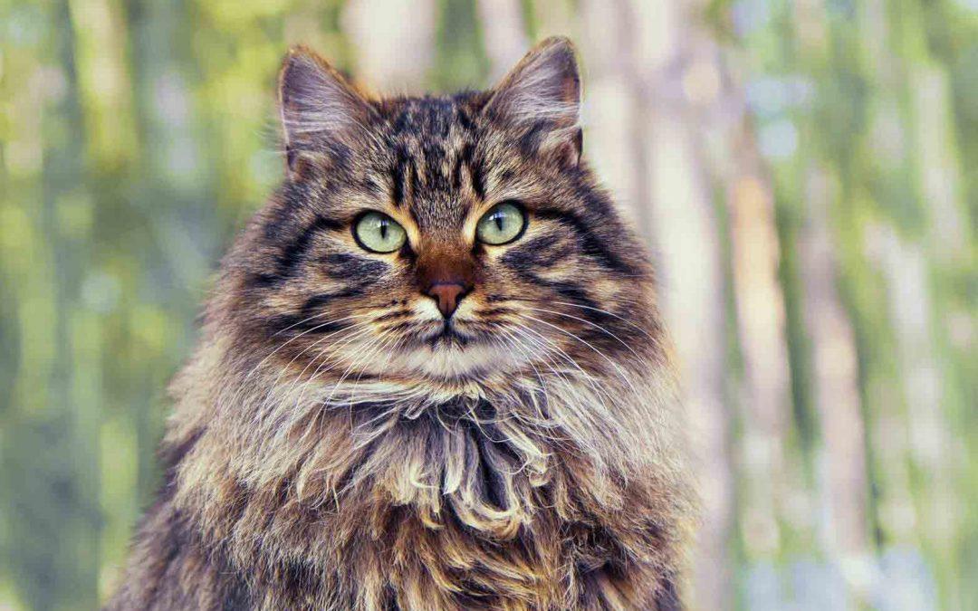 西伯利亚森林猫:特点 历史 怎么养 优缺点 健康问题介绍