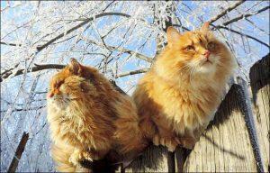 西伯利亚森林猫,猫品种