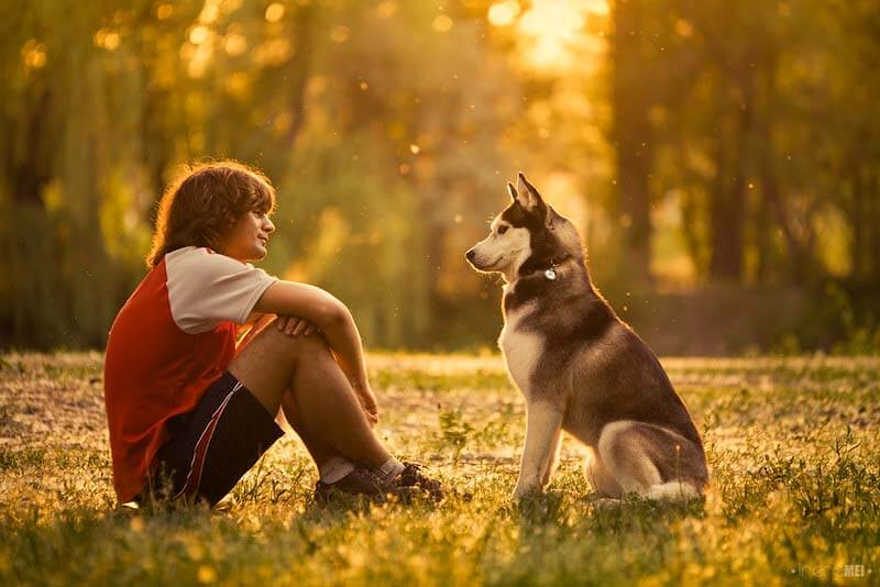 西伯利亚雪橇犬:特点 历史 怎么养 优缺点 健康问题介绍