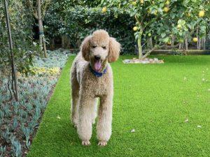 贵宾犬,狗品种
