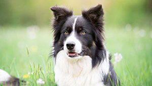 边境牧羊犬,狗品种