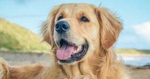 金毛寻回犬,狗品种,张开嘴巴的金毛