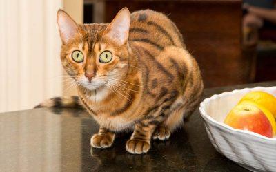 猫跳到厨房柜台上应如何阻止