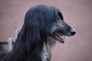 阿富汗猎犬,狗的品种