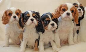 骑士查理王猎犬,狗品种