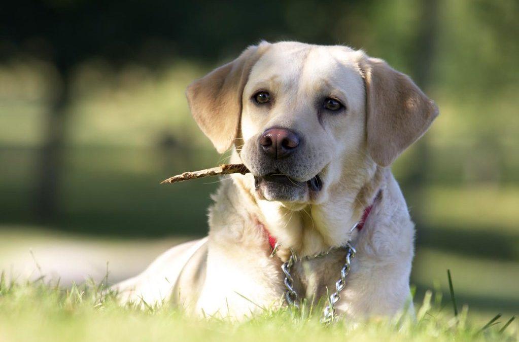 拉布拉多犬如何训练